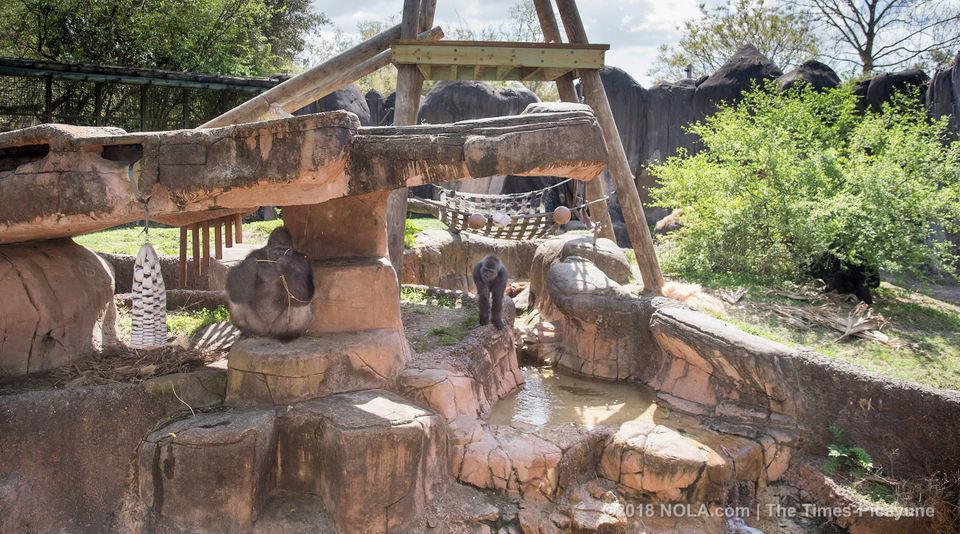Meet Audubon Zoo's new Western lowland gorilla troop