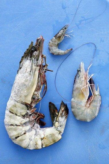 Massive tiger shrimp invaders likely have settled in