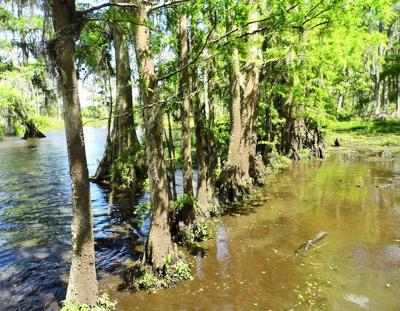 Do all bald cypress trees develop knees?