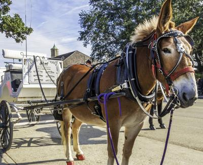 A mule-driven tourist stagecoach parked along Decatur Street, New Orleans