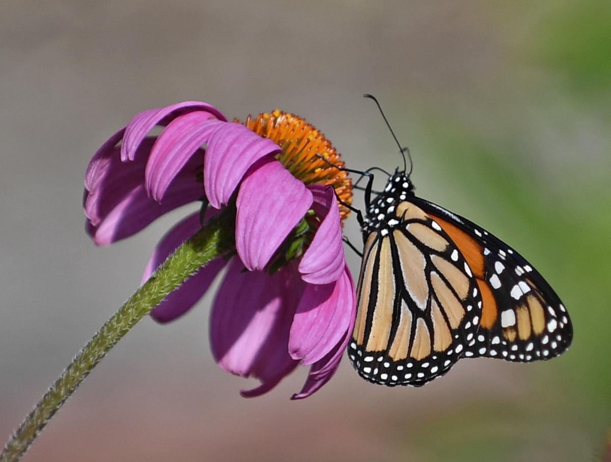 BR.monarchmunchies.051519 HS 286.JPG