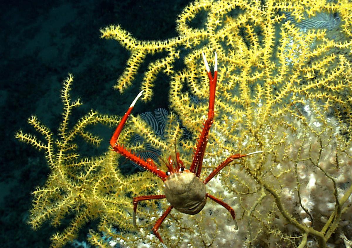 Deep-sea coral