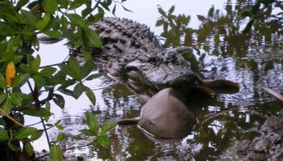 Alligators vs. sharks: In Gulf Coast waterways the gators are winning, research finds