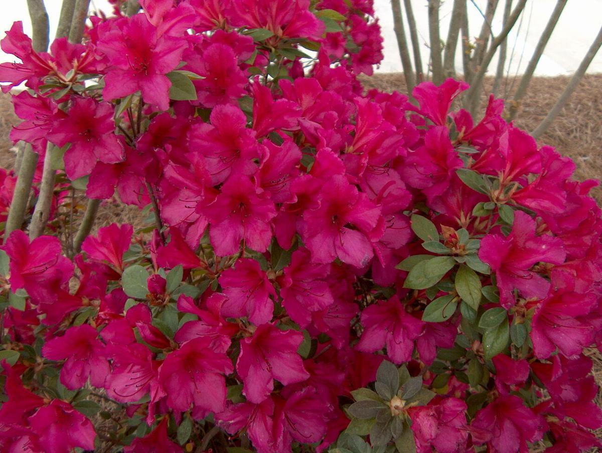 Azalea R. indicum 'Dixie Beauty' 5.JPG