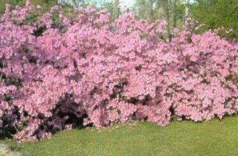 Azalea R. indicum 'Fisher Pink' 2.jpg