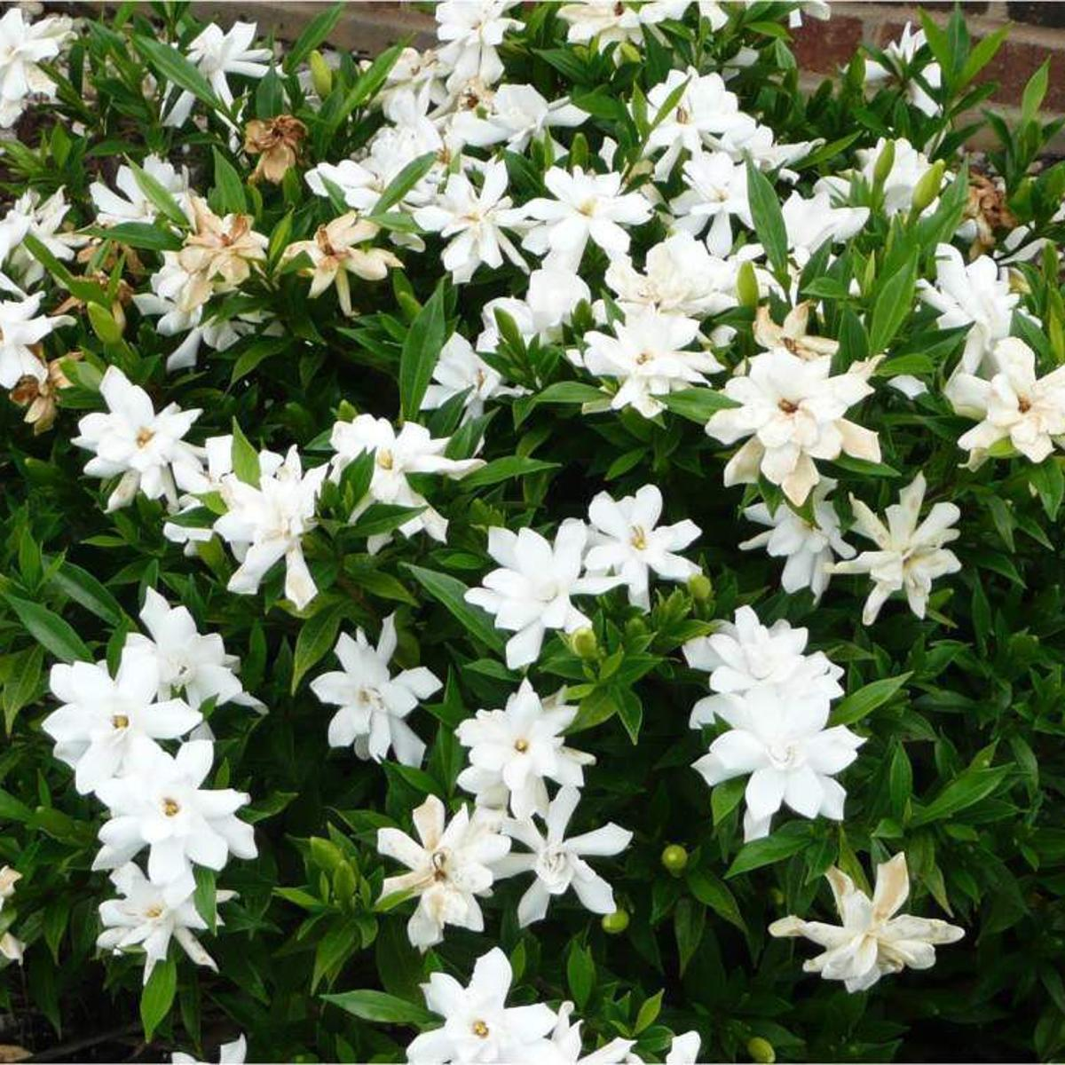 Gardenia Varieties Fill The Air With Spring Perfume Home Garden