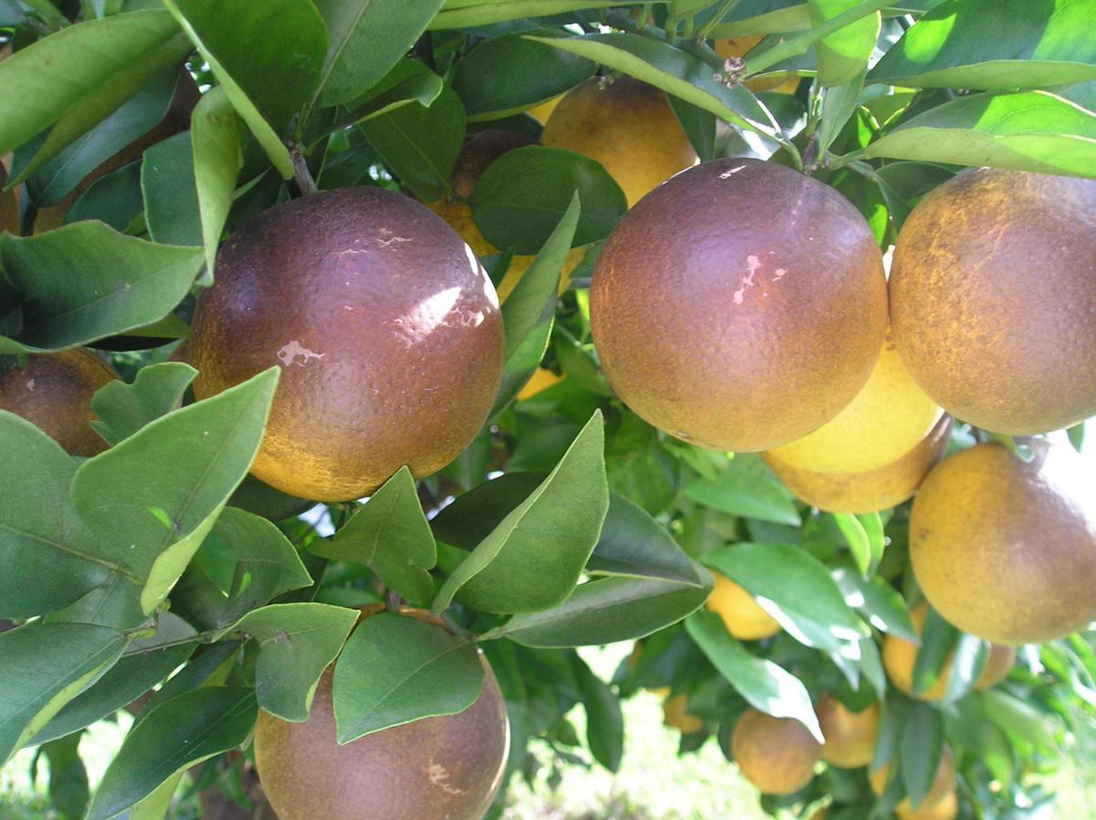 Gill  Citrus Rust Mites.JPG