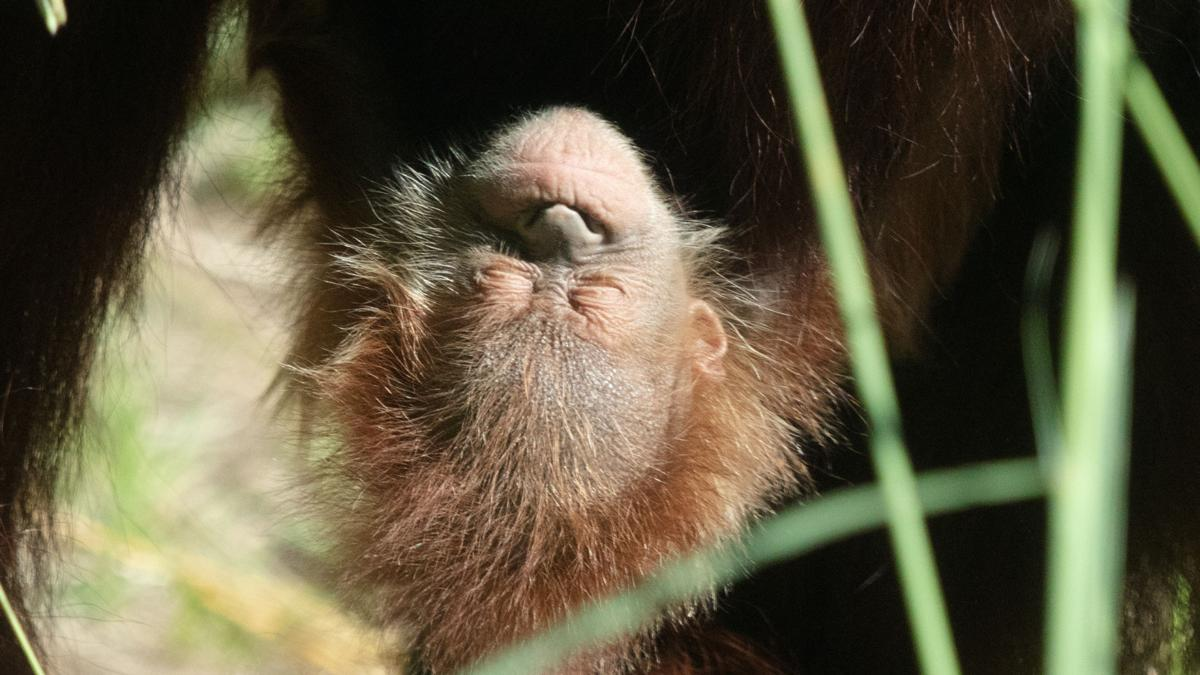 Bulan, the baby orangutan