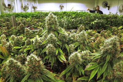 Louisiana's first legal medical marijuana crop could be planted Friday