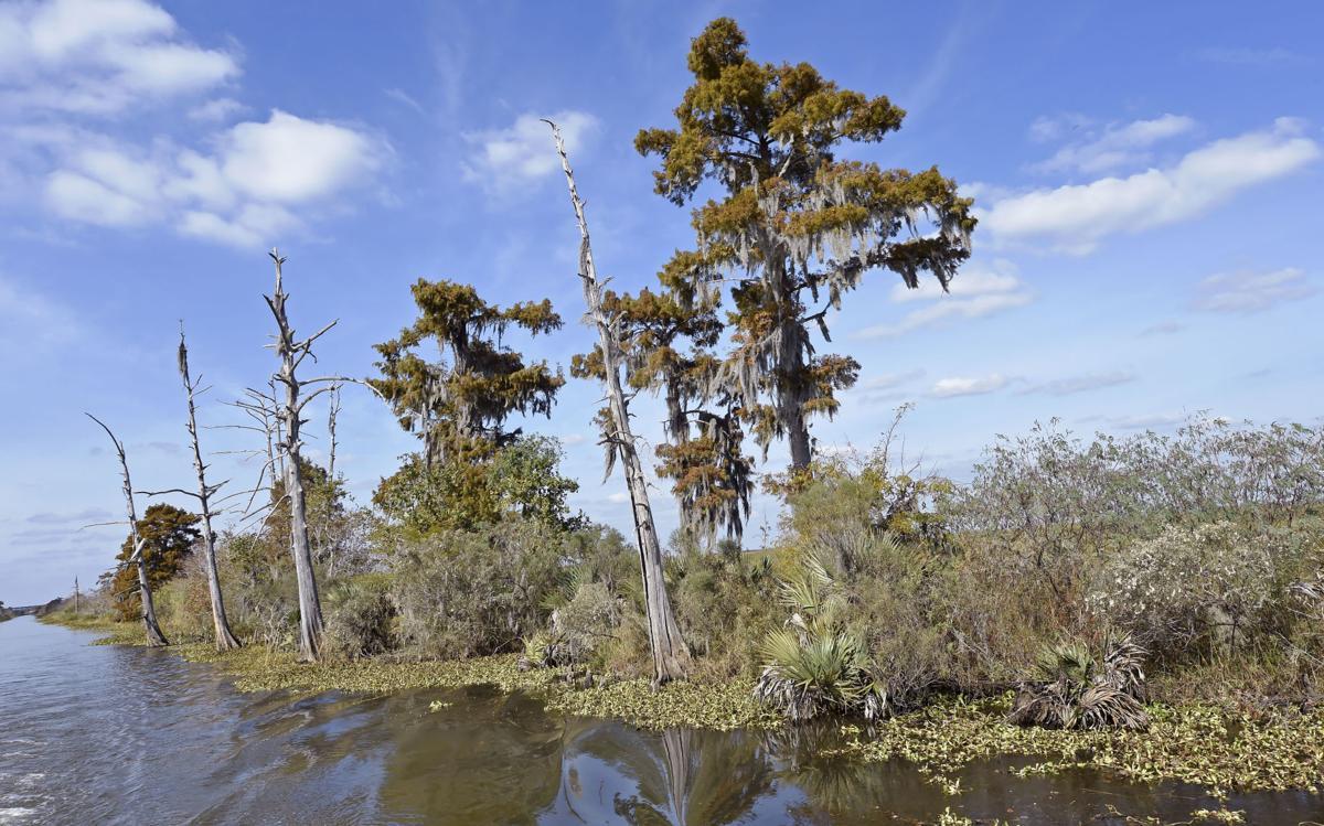 Maurepas Swamp