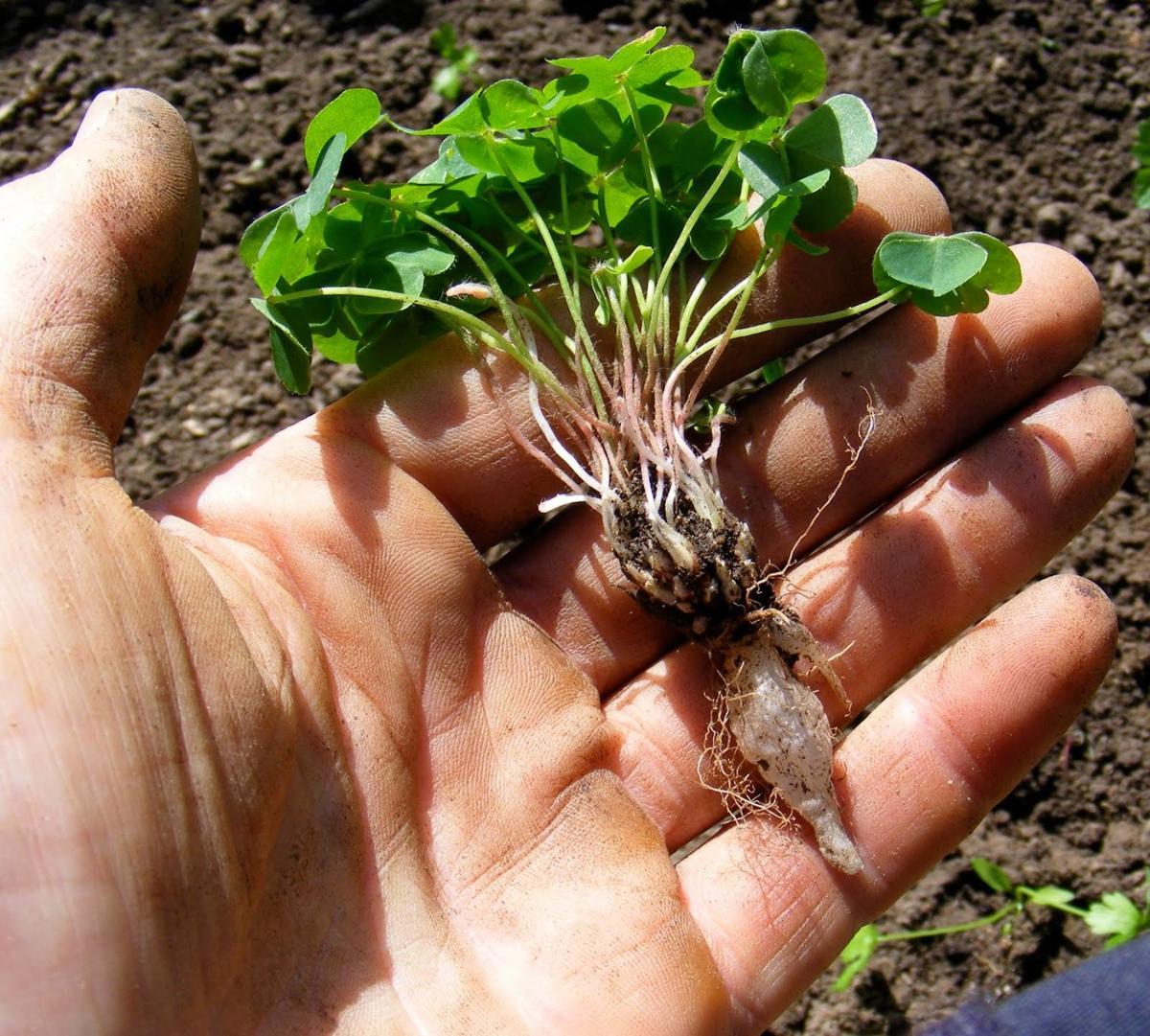 Oxalis roots.JPG