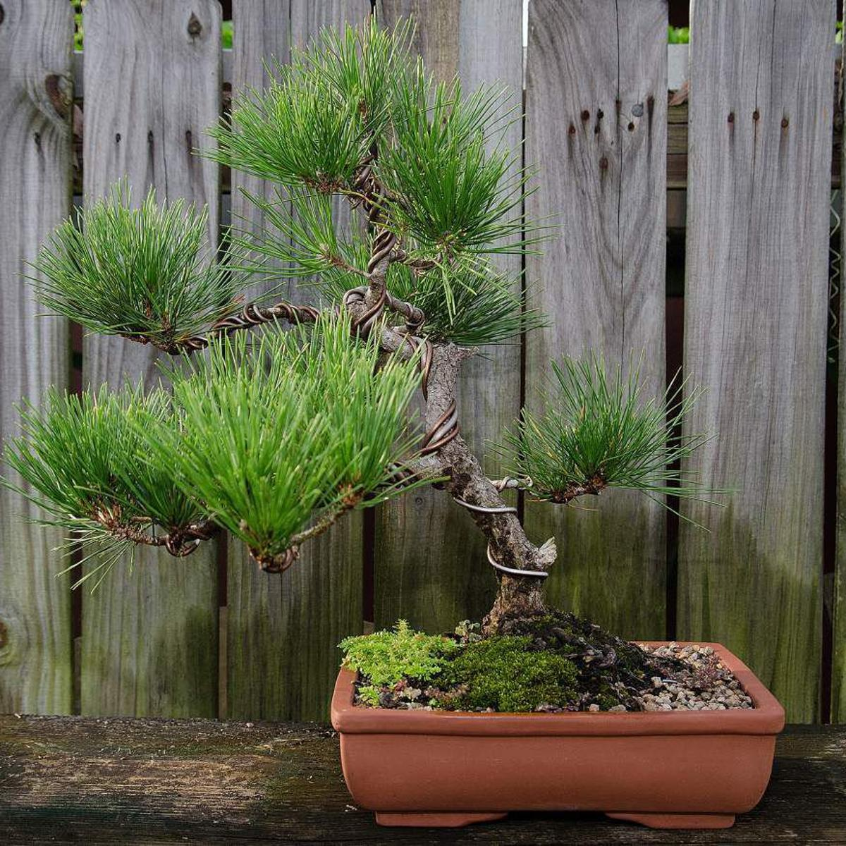 Bonsai Society Set To Auction Off Tiny Trained Trees Home Garden Nola Com