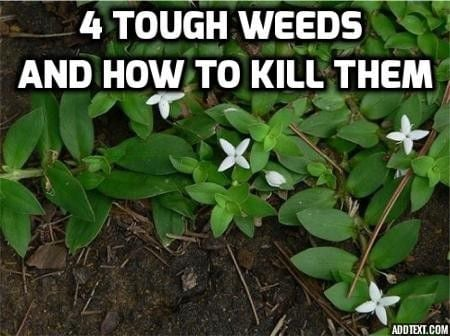 4 tough weeds and how to kill them | Home/Garden | nola com