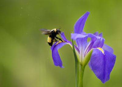 Keep Louisiana irises well-watered while they flower
