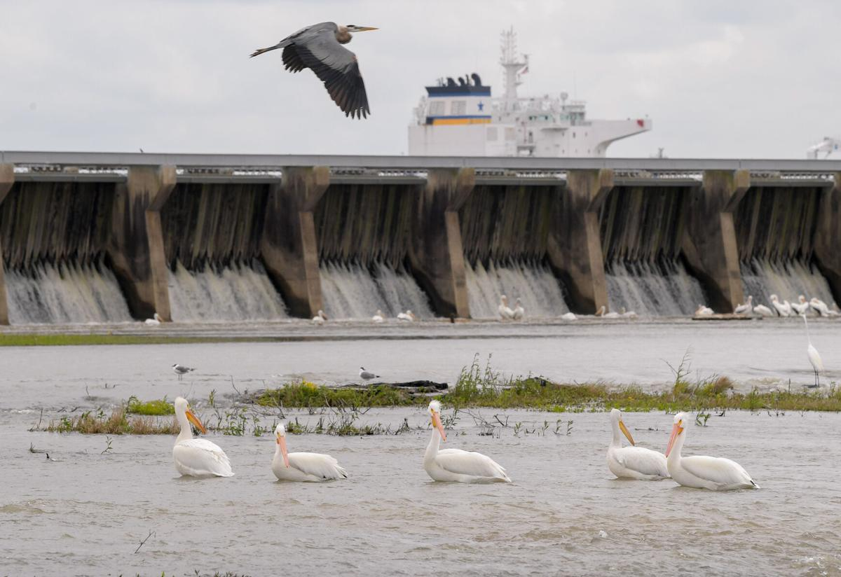 Bonnet Carre Spillway with pelicans and egrets