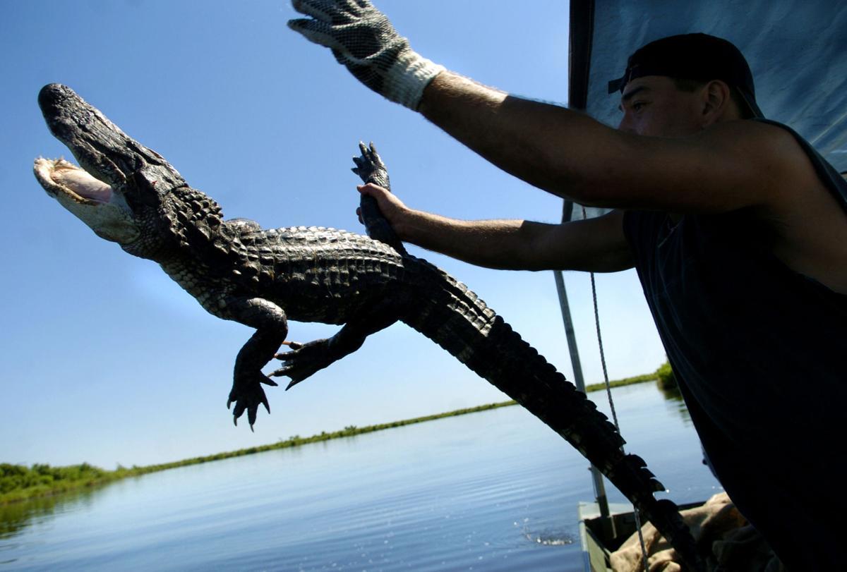 alligator_release_2.jpg