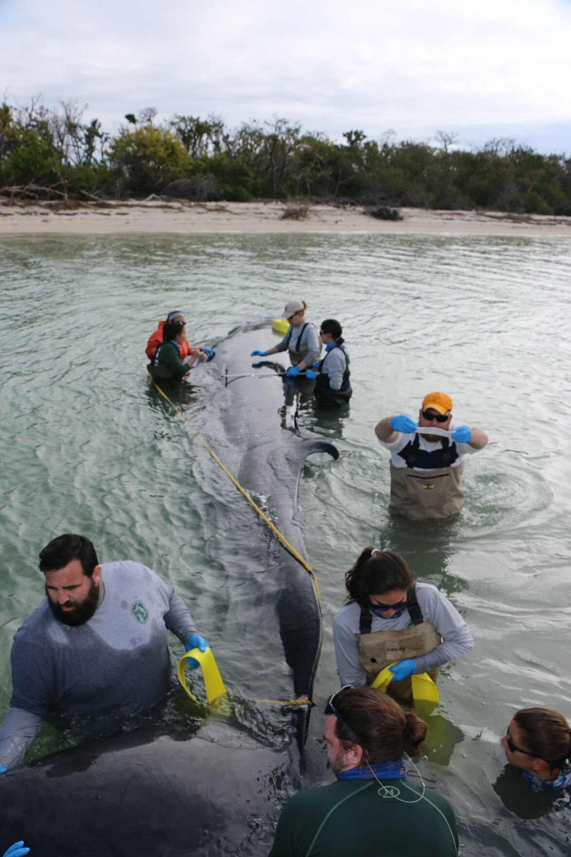 Rice's whale with wildlife responders