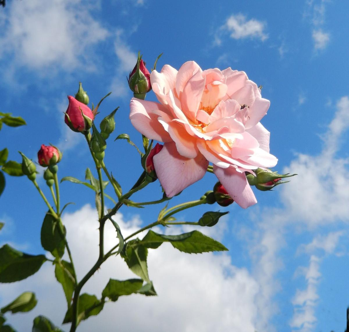 Pink Rose flower and buds at blue sky with white clouds