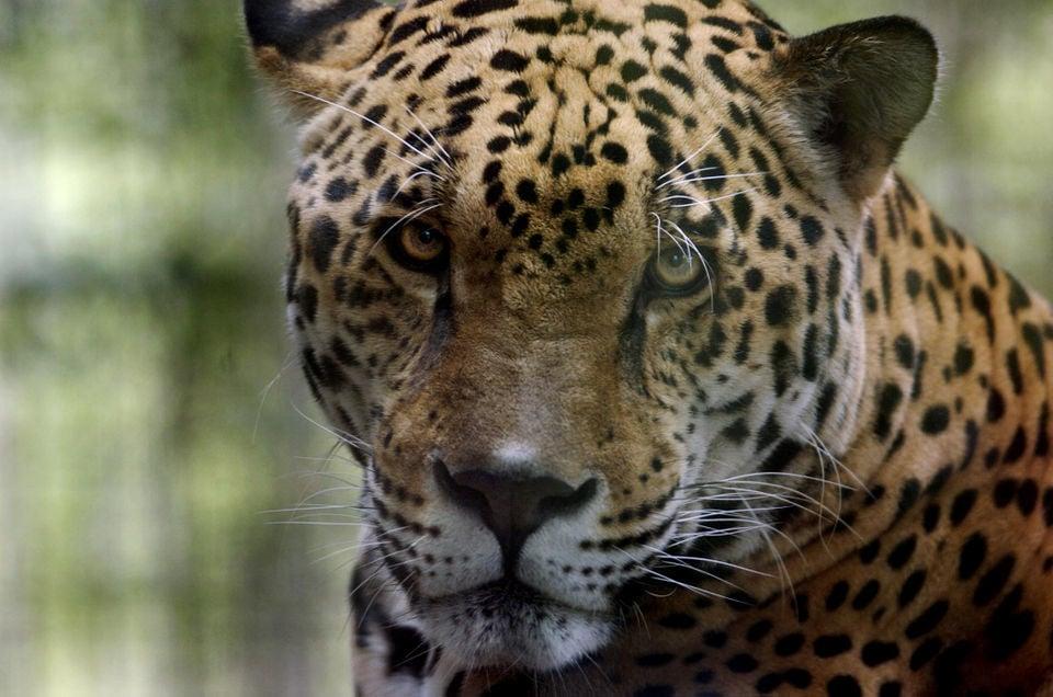 6 animals dead, 3 injured: What we know about the jaguar escape at Audubon Zoo