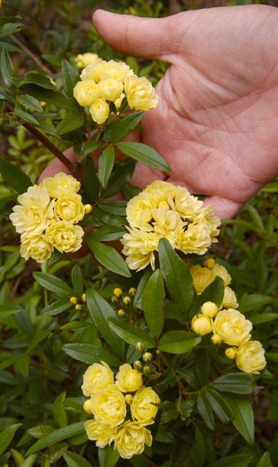 Lady Banks Rose... 04/04/02