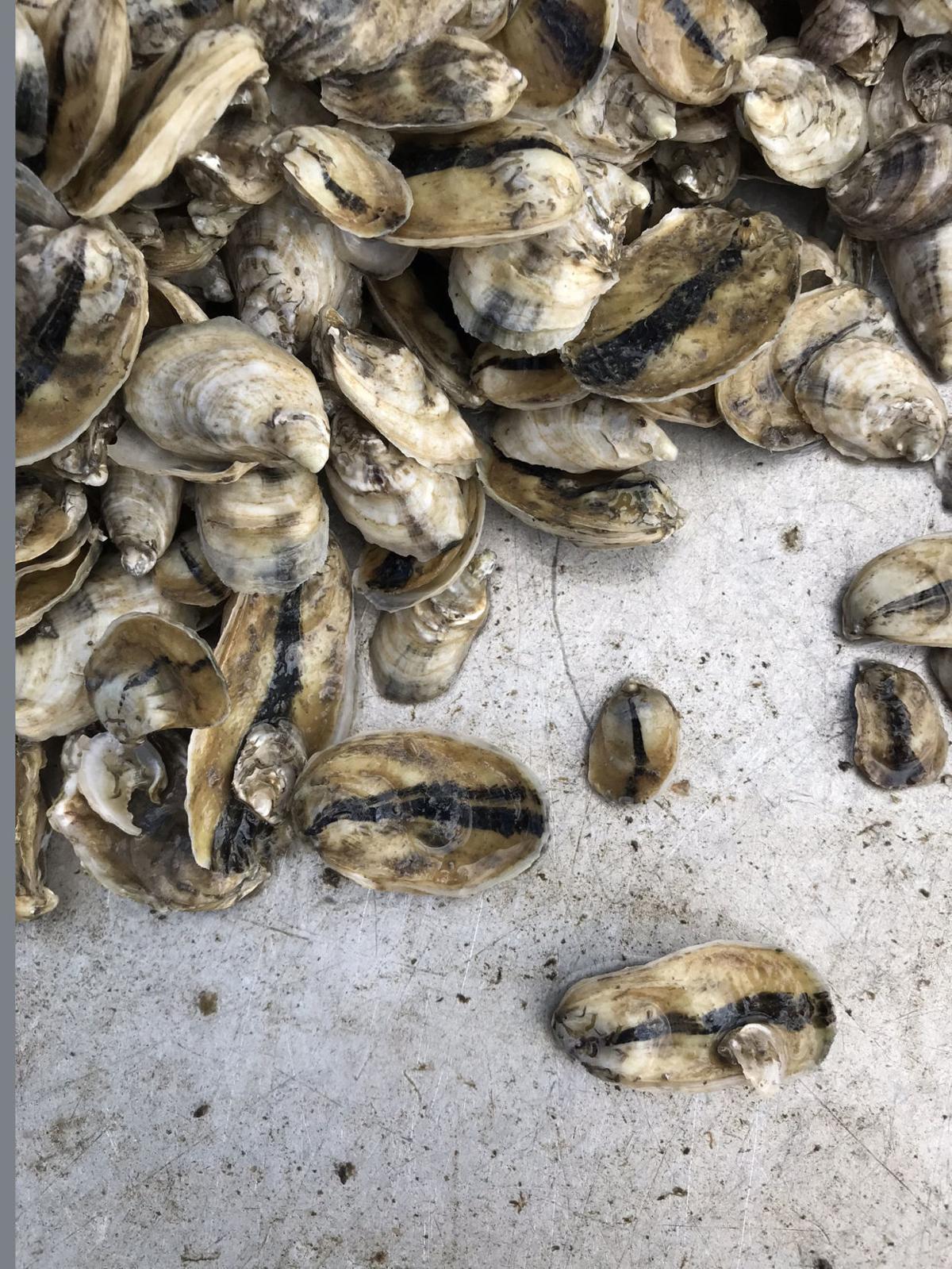 Lens oyster 4.jpg