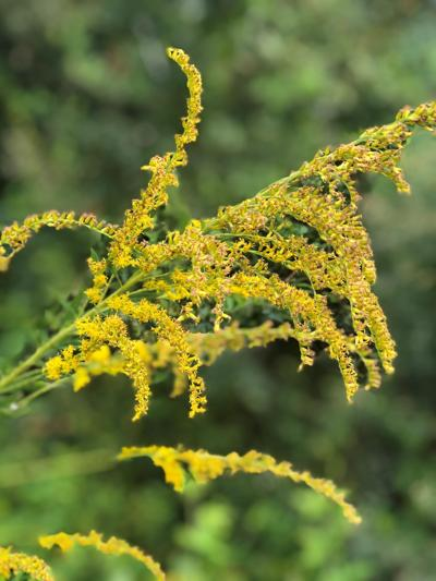 goldenrod wildflower.jpg (copy)