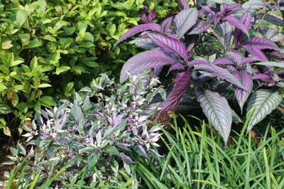 How to care for Persian shield and umbrella plants