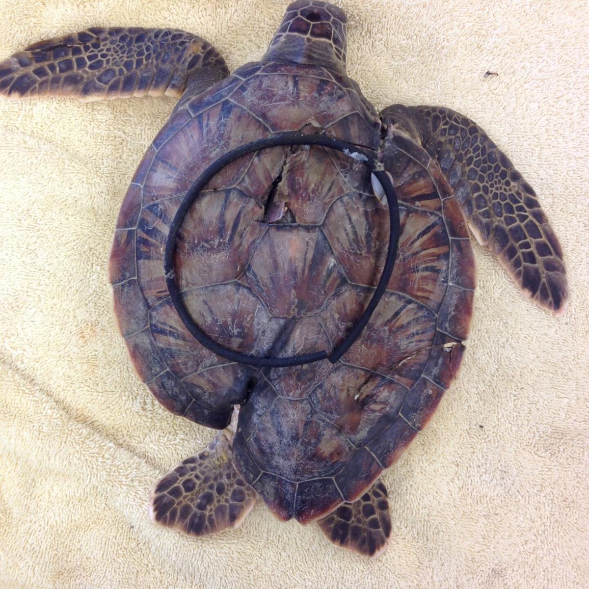 Deformed turtle