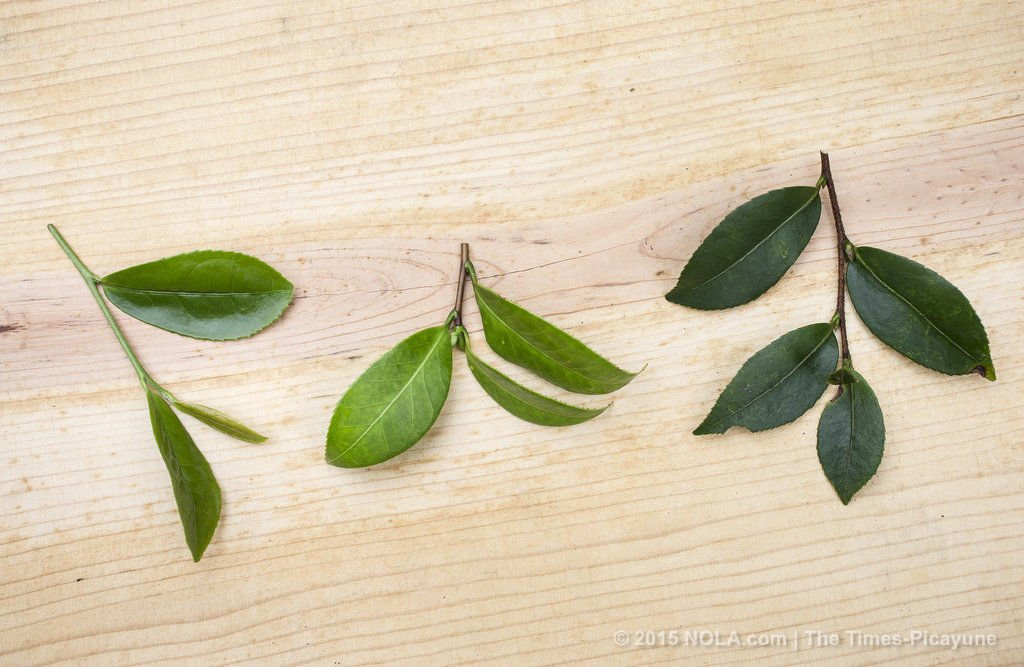 Tea farming in New Orleans: how to grow the perfect cup