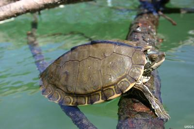 Environmental group sues feds over need to protect Louisiana turtle