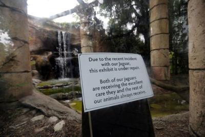 Why did Audubon Zoo's escaped jaguar kill so many animals?