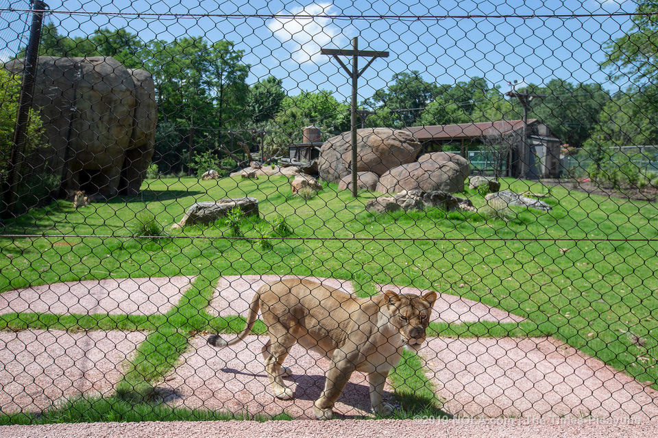The new lion exhibit at the Audubon Zoo opens Saturday, check out the sneak preview