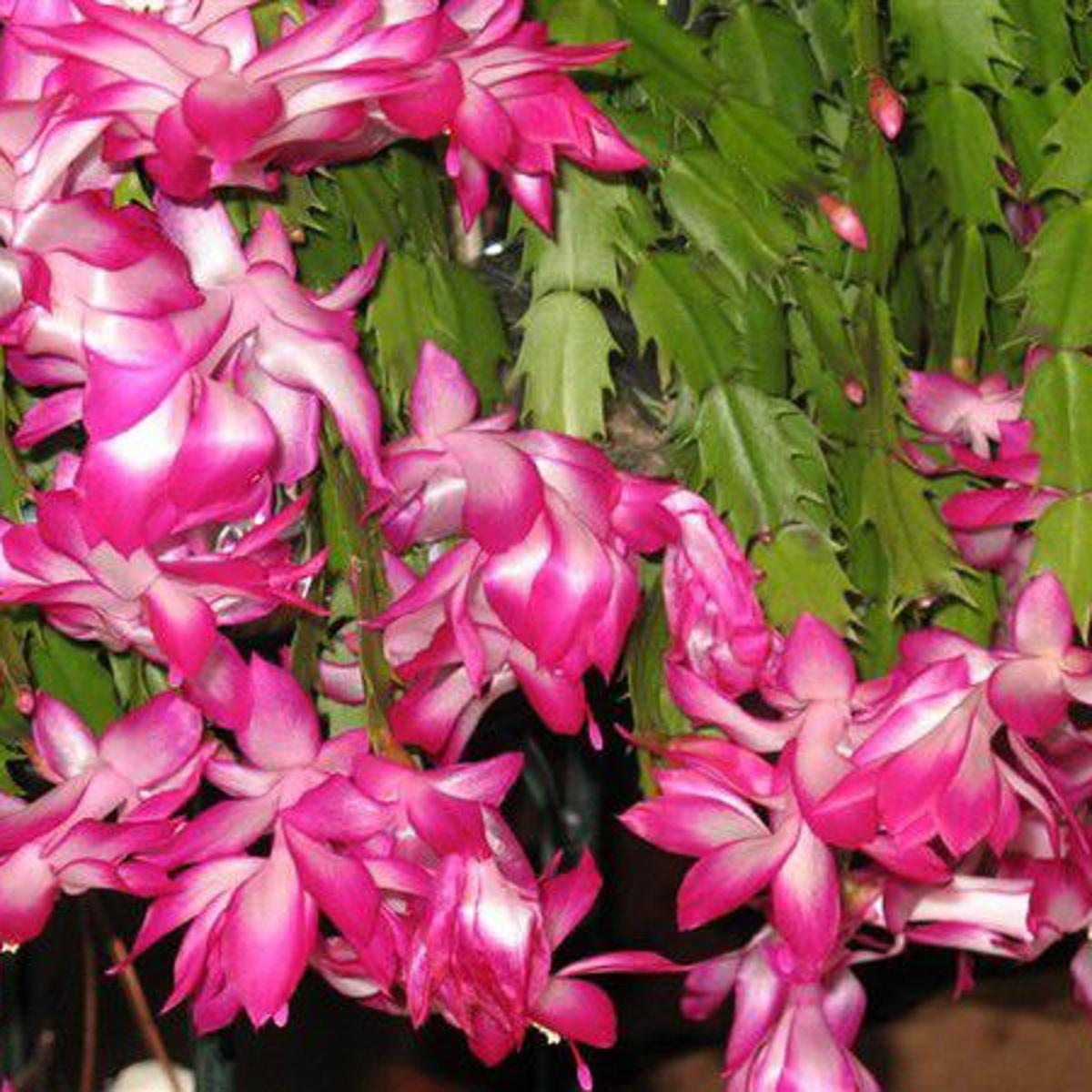 When Do Christmas Cactus Bloom.How To Get A Christmas Cactus To Bloom Home Garden Nola Com