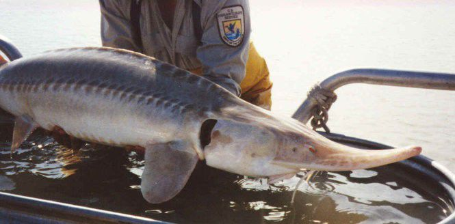 Russian fish escaping into Louisiana waters? Sturgeon farming plan raises alarm