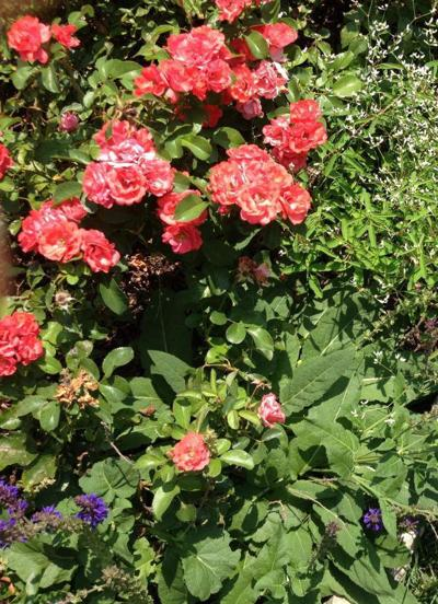 drift roses
