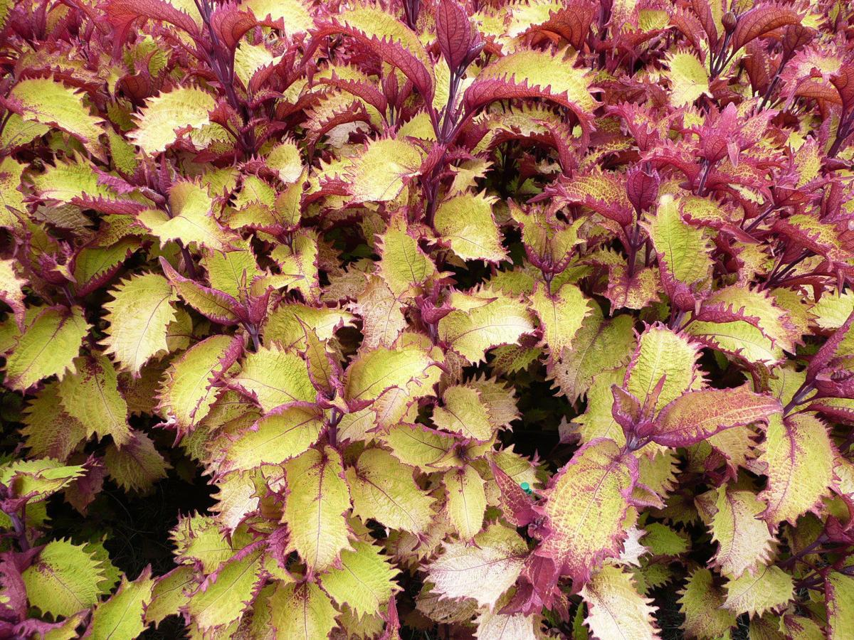 In Full Sun To Shade Henna Coleus Puts On A Bright Show All