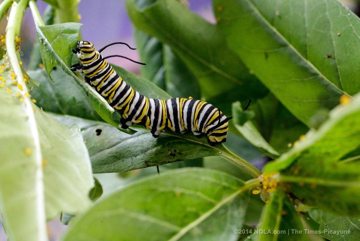 'Project Monarch' teaches schoolchildren the wonder of monarch butterflies