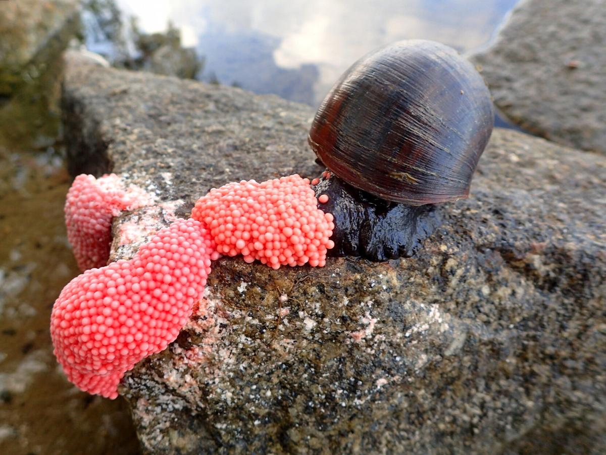 Apple snail and eggs