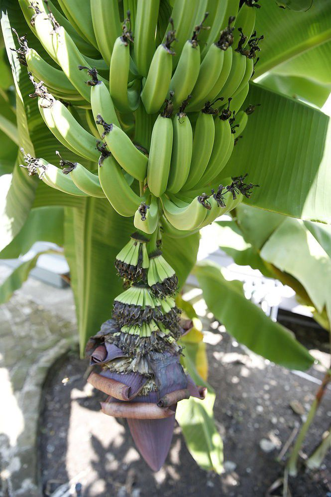 Banana plants: Answers to all your questions about care