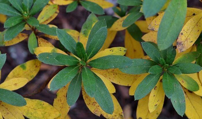 GILL LEAF DROP azalea-leaves-turning-yellow-RYGblog.jpg