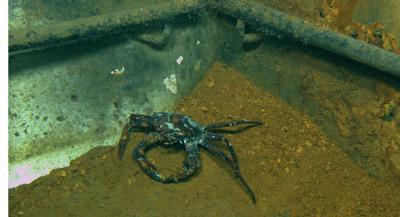 Deepwater Horizon crab