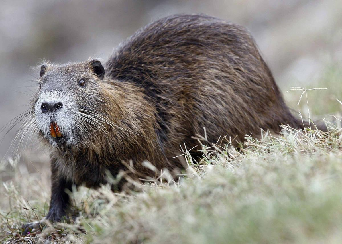 It wasn't McIlhenny's fault, and other things to know about nutria in Louisiana