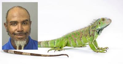 Green iguana (Iguana iguana) on white background