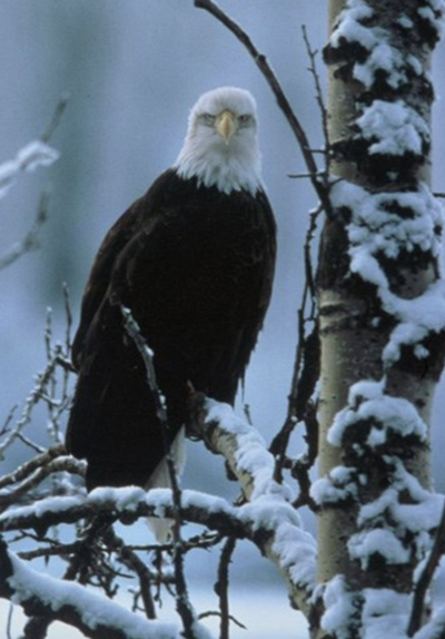 Does Kentucky have more bald eagles during the winter months?