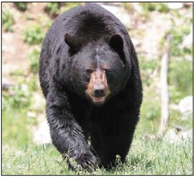 Did you know that Black Bears roam the Bluegrass?
