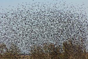 Bird expert unlocks mysteries of huge migrating flocks over Nebraska     norfolkdailynews.com