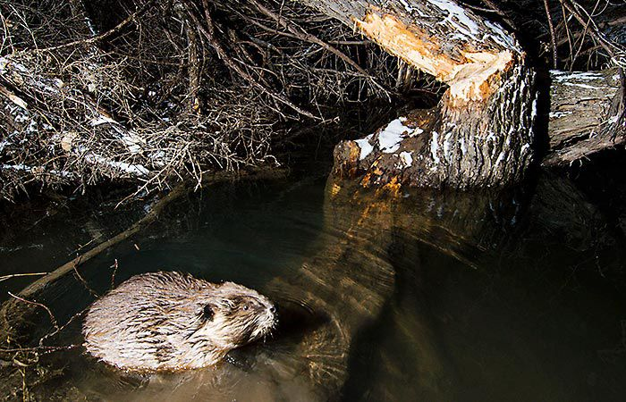 Beaver, Nebraska Game and Parks/Nebraskaland Magazine