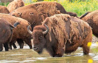 Bison in Niobrara River