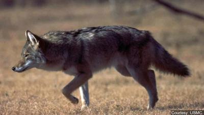 Nebraska wildlife officials: Be aware of urban coyotes