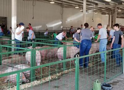 Swine, bucket calf highlighted at showcase